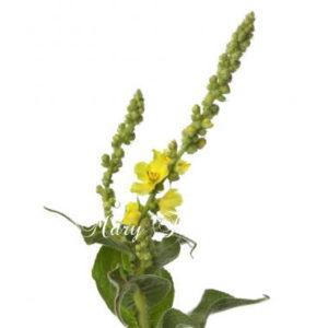 モウズイカの花で痰を取り除く