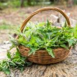 ネトルの天然肥料と殺虫剤の作り方